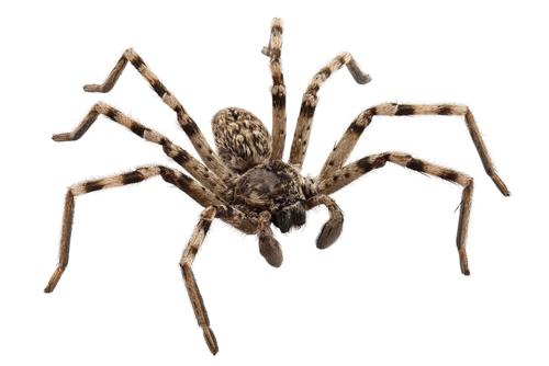 Koliko pauk ima nogu